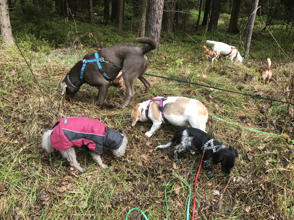 Leckerliesuche-Suche-Such-Suchaufgabe-Suchaufgaben-Futtersuche-Futter-Leckerlies-zum-Suchen-Beschäftigung-Hund beschäftigen-Hundegruppe-Hundesitter-Hunderudel-Rudel-geistig-auslasten-Auslastung-Nürnberg-Fürth