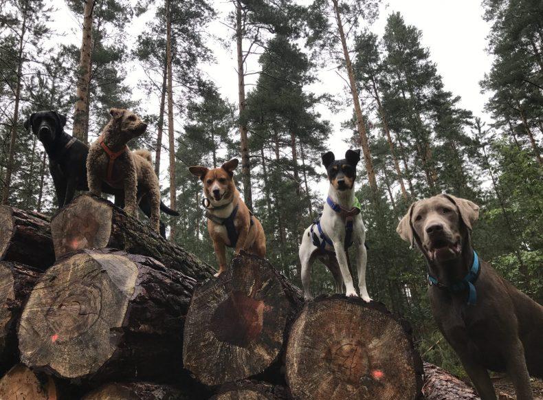 Sanny's Hundeservice bietet Ihrem Hund einen Dogwalking Service in Nürnberg und Fürth in einer Hundegruppe.